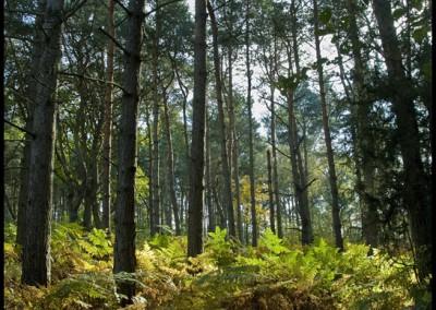0080 Spraglehall ormbunkar o skog
